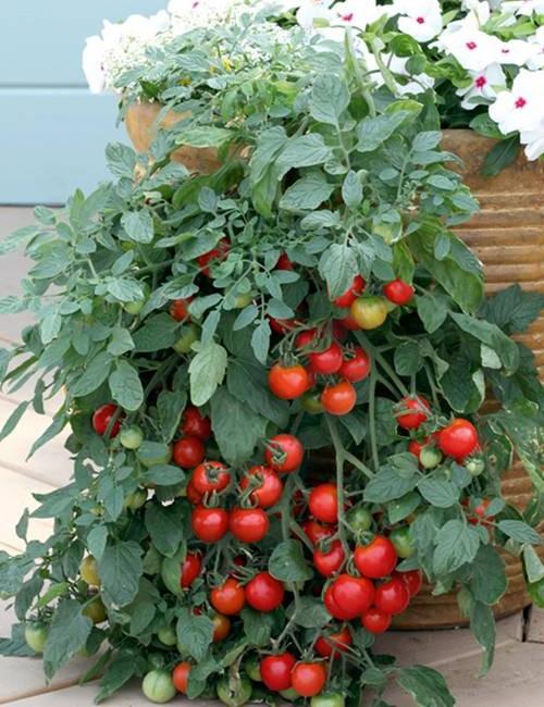 Valgomieji pomidorai Tumbling Tom Red 20s
