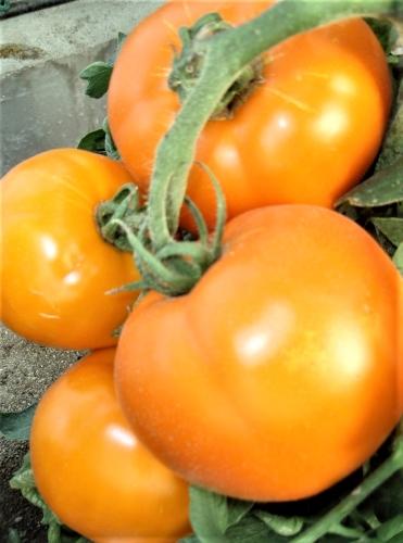 Valgomieji pomidorai Bendida F1 (H) 10s