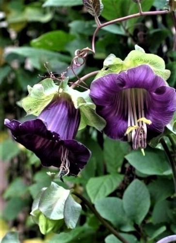 Laipiojančioji kobėja Violet (Cobaea scandens) 7s
