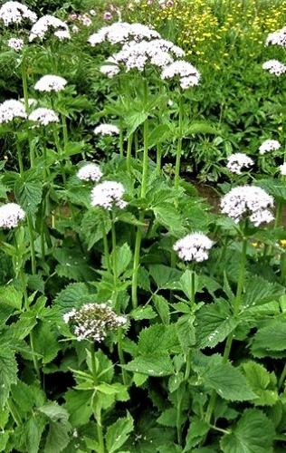 Vaistiniai valerijonai (Valeriana officinalis) 200s