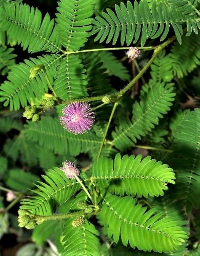 Jautrioji mimoza (Mimosa Pudica) Sėklų 0,3g