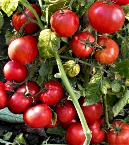 Valgomieji pomidorai (Lycoprsicon Esculentum) BetaluX 70s