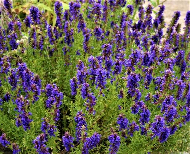 Vaistinės juozažolės (Hyssopus officinalis) Sėklų 0,4g