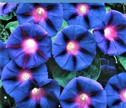 Purpurinis sukutis Grandpa Ott Ipomoea purpurea) 50s