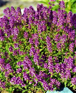 Vaistiniai čiobreliai (lot. Thymus vulgaris)